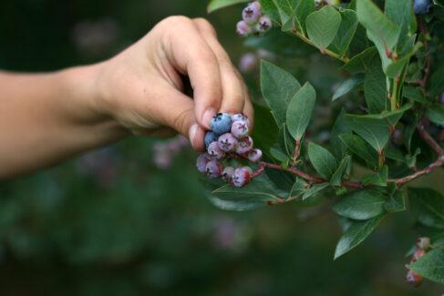 """Hand picking blueberries"" by Gordana Adamovic-Mladenovic"